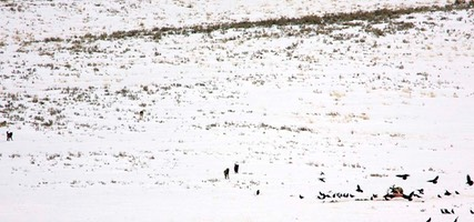 Day 7: Lamar Valley Wolf Pack