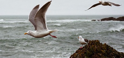 Gulls in Flight at Depoe Bay