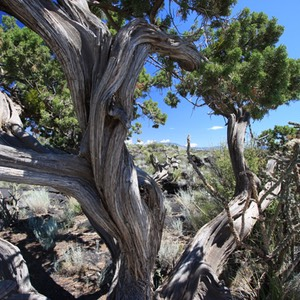 Juniper Tree, Valley of Fires, NM