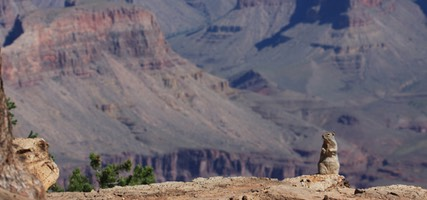 Life on the Edge, Prairie Dog, Grand Canyon, AZ