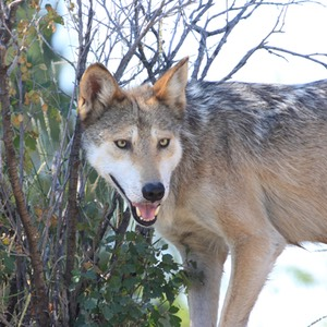 Mexican Wolf, Living Desert, Carlsbad, NM