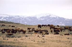 14 Cattle