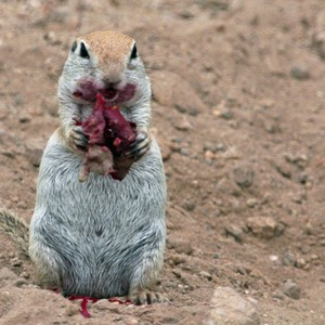 Prairie Dog and Prickly Pear, AZ
