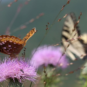 Great Spangled Fritillary and Eastern Tiger Swallowtail Butterflies, Shenandoah