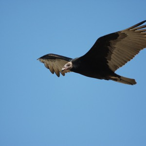 Turkey Vulture, Seminole, TX
