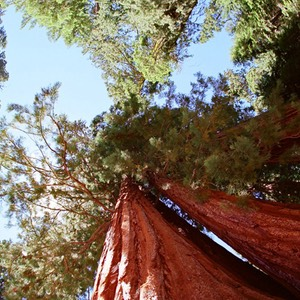 Fisheye View of Trees, Yosemite National Park