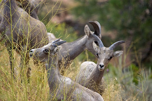 Zion, Big Horn Sheep